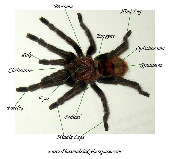 phasmidsincyberspace arachnids information directory : rose hair tarantula diagram - findchart.co